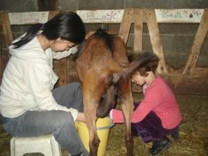 traite-chèvres